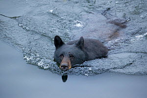 Black bear (Ursus americanus) swimming in Herring Cove south of the town of Ketchikan, Alaska, USA, July - Charlie Summers