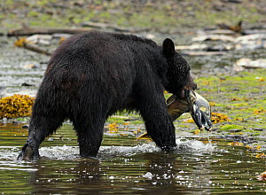 Black bear (Ursus americanus) with Dog salmon (Oncorhynchus keta) catch. Note the teeth the male Dog / Chum Salmon grows during the spawning season. Alaska, USA, July - Charlie Summers