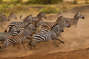 Plains zebra (Equus quagga) scatter after being spooked at a waterhole, Serengeti National Park, Tanzania  -  Charlie Summers