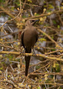 Ashy starling (Lamprotornis unicolor) perched in a bush, Tarangire National Park, Tanzania, February - Charlie Summers