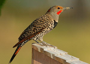 Northern Flicker (Colaptes auratus)  Colorado, USA, July  -  Charlie Summers
