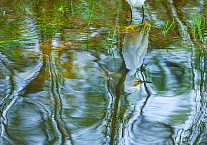 Snowy Egret (Egretta thula) reflected in water. Everglades National Park, Florida, USA, February. - Juan Carlos Munoz