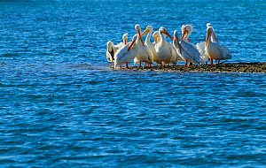 American White Pelican (Pelecanus erythrorhynchos) by water. Everglades National Park, Florida, USA, February. - Juan Carlos Munoz