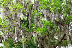 Mangrove canopy covered in Spanish moss Everglades National Park, Florida, USA, February.  -  Juan Carlos Munoz