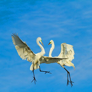Great Egrets (Ardea alba) territorial dispute above nest colony, Everglades National Park, Florida, USA, February.  -  Juan Carlos Munoz