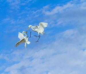Great Egrets (Ardea alba) territorial fight above nest colony, Everglades National Park, Florida, USA, February.  -  Juan Carlos Munoz