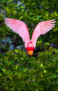 Roseate Spoonbill (Platalea ajaja) rear view wings open,  in mangrove canopy. Everglades National Park, Florida, USA, February.  -  Juan Carlos Munoz