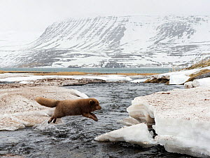 Arctic fox (Alopex lagopus) in thick winter fur jumping a river in spring, Hornstrandir, West Fjords, Iceland, April - Erlend Haarberg