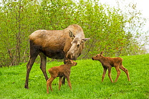 Moose (Alces alces) cow with a newborn calves grazing on spring grass. Tony Knowles Coastal Trail, Anchorage, south-central Alaska, May.  -  Steven Kazlowski