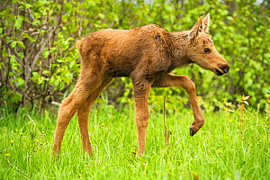 Moose (Alces alces) newborn calves walking in spring vegetation. Tony Knowles Coastal Trail, Anchorage, south-central Alaska, May. - Steven Kazlowski