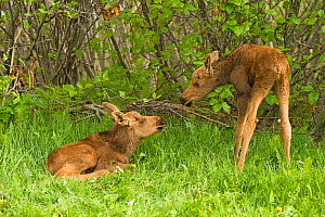 Moose (Alces alces) newborn calves in spring vegetation. Tony Knowles Coastal Trail, Anchorage, south-central Alaska. - Steven Kazlowski