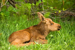 Moose (Alces alces) newborn calf in spring vegetation. Tony Knowles Coastal Trail, Anchorage, south-central Alaska. - Steven Kazlowski