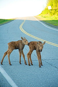 Moose (Alces alces) newborn calves on a road. Tony Knowles Coastal Trail, Anchorage, south-central Alaska, May. - Steven Kazlowski