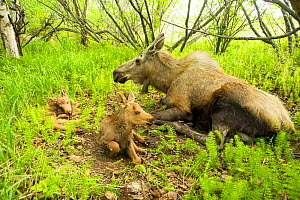 Moose (Alces alces) cow with a newborn calves resting in spring vegetation. Tony Knowles Coastal Trail, Anchorage, south-central Alaska, May. - Steven Kazlowski