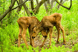 Moose (Alces alces) newborn calves playing in spring vegetation. Tony Knowles Coastal Trail, Anchorage, south-central Alaska. - Steven Kazlowski