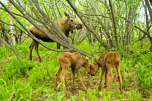 Moose (Alces alces) cow foraging on willow leaves with two newborn calves. Tony Knowles Coastal Trail, Anchorage, south-central Alaska, May. - Steven Kazlowski