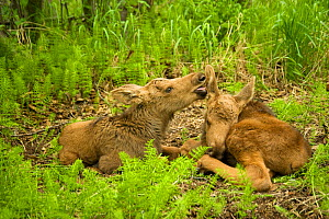 Moose (Alces alces) newborn calf licking and grooming its sibling as they rest in spring vegetation. Tony Knowles Coastal Trail, Anchorage, south-central Alaska, May. - Steven Kazlowski