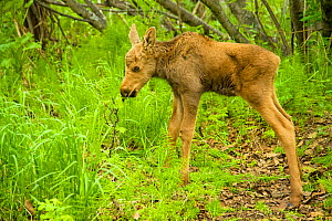 Moose (Alces alces) newborn calf in spring vegetation. Tony Knowles Coastal Trail, Anchorage, south-central Alaska, May. - Steven Kazlowski