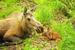 Moose (Alces alces) cow with a newborn calf resting in spring vegetation. Tony Knowles Coastal Trail, Anchorage, south-central Alaska, May. - Steven Kazlowski
