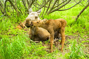 Moose (Alces alces) newborn calf tries to get cud, or regurgitated food, from its mother. Tony Knowles Coastal Trail, Anchorage, south-central Alaska, May. - Steven Kazlowski