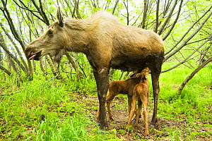 Moose (Alces alces) cow suckling her newborn calves. Tony Knowles Coastal Trail, Anchorage, south-central Alaska, May. - Steven Kazlowski