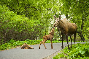 Moose (Alces alces) cow with two newborn calves on a path. Tony Knowles Coastal Trail, Anchorage, south-central Alaska, May. - Steven Kazlowski