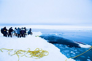 Inupiaq subsistence whalers prepare to pull up a bowhead whale (Balaena mysticetus) catch along the edge of the open lead in the pack ice. Chukchi Sea, offshore from Barrow, Arctic coast of Alaska, Ap... - Steven Kazlowski