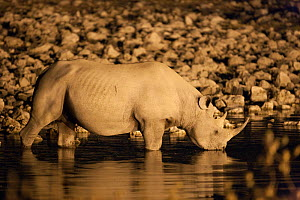 Black rhino (Diceros bicornis) drinking at night, Okaukuejo waterhole, Etosha national park, Namibia - Ann & Steve Toon