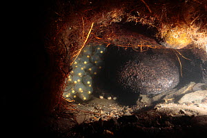 Male Japanese giant salamander (Andrias japonicus) protecting his eggs inside his nest, Japan, September - Yukihiro Fukuda
