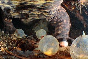 Male Japanese giant salamander (Andrias japonicus) protecting his eggs inside his nest, Japan, October - Yukihiro Fukuda