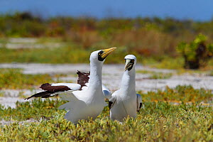 Masked booby (Sula dactylatra) mating pair deciding where to lay their eggs, which they do directly on the ground, Christmas Island / Kiritimati, Pacific Ocean, July  -  Yukihiro  Fukuda