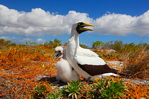 Masked booby (Sula dactylatra) parent and young with beaks gaping to cool down in harsh sunlight, Christmas Island / Kiritimati, Pacific Ocean, July  -  Yukihiro  Fukuda
