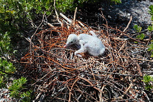 Lesser frigatebird (Fregata ariel) chicks are covered with white feathers to protect themselves from the heat of the sun, Christmas Island / Kiritimati, Pacific Ocean, July - Yukihiro  Fukuda
