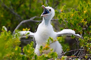 Lesser frigatebird (Fregata ariel) chick calling to parents, white feathers are to protect from heat of sun, Christmas Island / Kiritimati, Pacific Ocean, July - Yukihiro  Fukuda