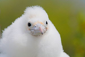 Lesser frigatebird (Fregata ariel) chick portrait, covered in downy white feathers to protect from heat of sun, Christmas Island / Kiritimati, Pacific Ocean, July - Yukihiro  Fukuda