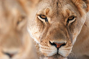 African lioness (Panthera leo) head portrait, Kgalagadi Transfrontier Park, South Africa - David Pattyn