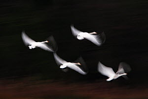 Bewick's swans (Cygnus bewickii) four in flight, Den Bosch, The Netherlands, January  -  David Pattyn