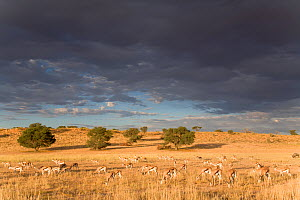 Springbok (Antidorcas marsupialis) grazing in Auob Valley whilst storm clouds approach, Kgalagadi Transfrontier Park, South Africa, March  -  David Pattyn