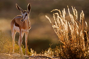 Springbok (Antidorcas marsupialis) in early morning sunlight, Kgalagadi Transfrontier Park, South Africa - David Pattyn