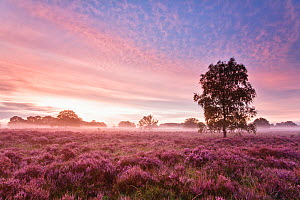 Sunrise with fog over heather landscape, Kampina Nature Reserve, Oisterwijk, The Netherlands, August 2007 - David Pattyn