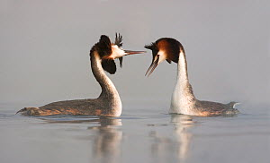 Great Crested grebes (Podiceps cristatus) courtship dance in the mist, Trebon area, Czech Republic, May  -  David Pattyn