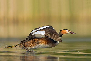 Great Crested grebe (Podiceps cristatus) fleeing from a competitor, Trebon lake area, Czech Republic, May  -  David Pattyn
