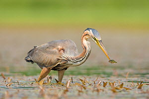 Purple heron (Ardea purpurea) catching small fish, La Dombes Lake Area, France, June  -  David Pattyn