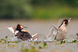 Great Crested grebes (Podiceps cristatus) two males fighitng for the right to mate at a particular mating spot, La Dombes lake area, France, June  -  David Pattyn