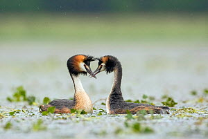 Great crested grebe (Podiceps cristatus) male and female perform courtship dance, La Dombes area, France, June  -  David Pattyn