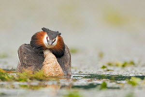Great crested grebe (Podiceps cristatus) male tries to look as beautiful and impressive as possible. he pumps up his head and holds the wings in a circle to look as good as possible, during mating sea...  -  David Pattyn