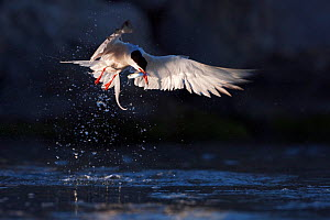 Common tern (Sterna hirundo) catching a fish, action shot, Camargue, France, July - David Pattyn