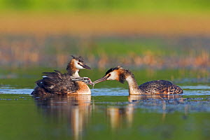 Great Crested grebe (Podiceps cristatus) feeding young chicks on the back of other parent, La Dombes area, France, July  -  David Pattyn
