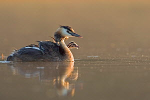 Great Crested grebe (Podiceps cristatus) swimming in early morning light carrying chick on back, La Dombes area, France, July - David Pattyn