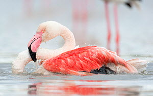 European flamingo (Phoenicopterus roseus) bathing, at height of courtship season they clean their plumage a lot, Camargue, France, April - David Pattyn